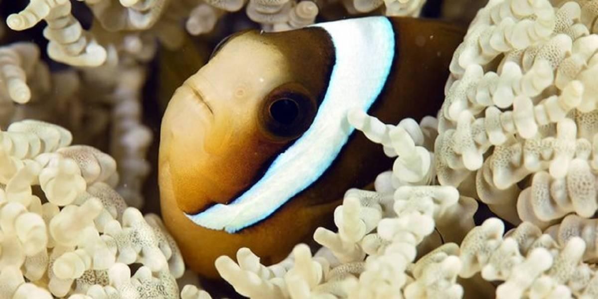 Pez, primo de Nemo, utiliza rayos UV para detectar comida y a sus amigos