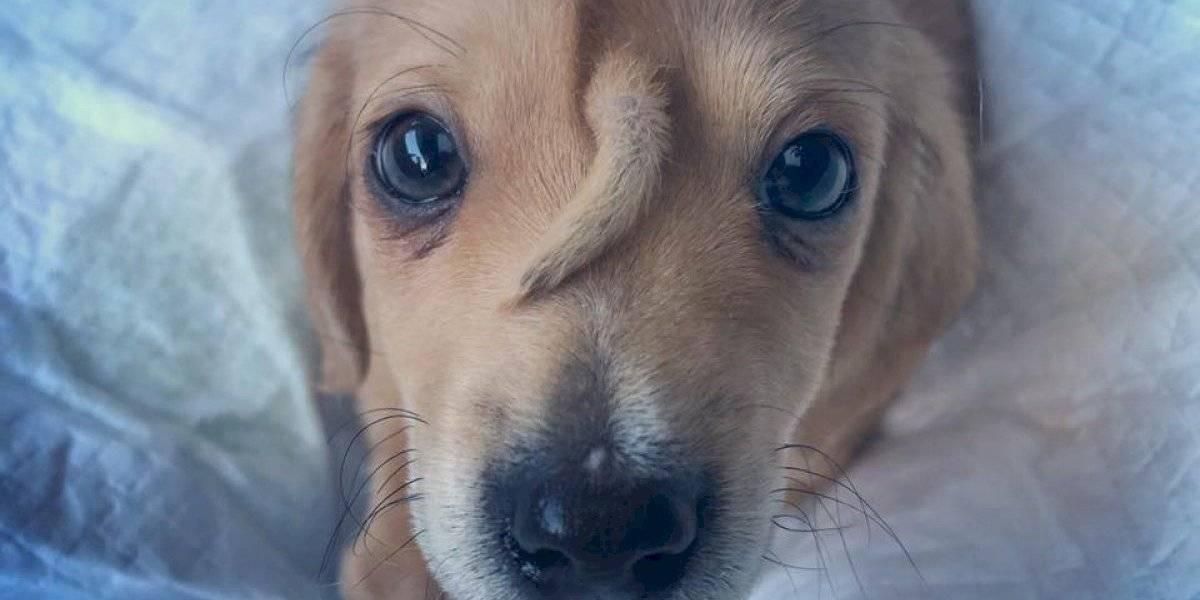 Uni Cão Nio Filhote De Cachorro Nasce Com Rabo Na Testa