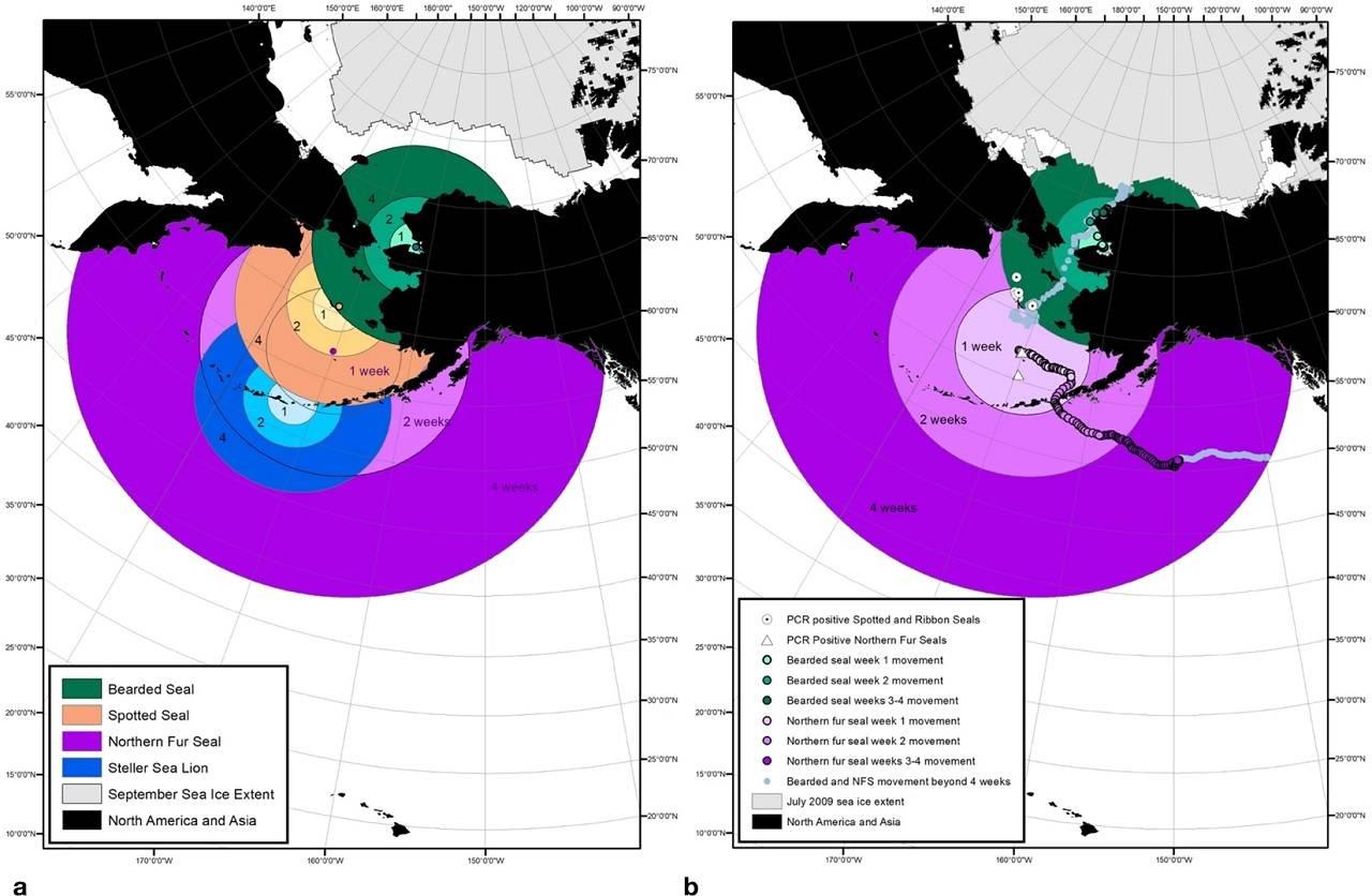 Virus mortal para mamíferos marinos avanzó entre Alaska y Rusia por el cambio climático