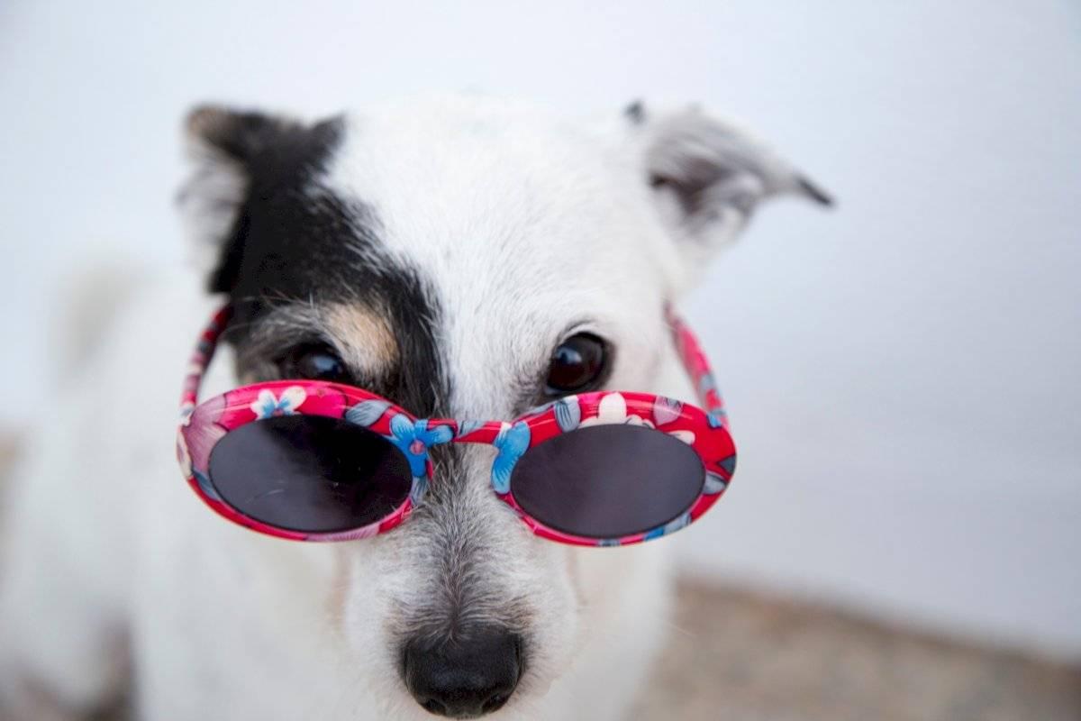 cachorro óculos