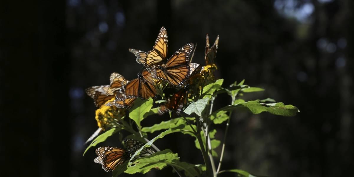 Abre santuario de la mariposa monarca en Michoacán
