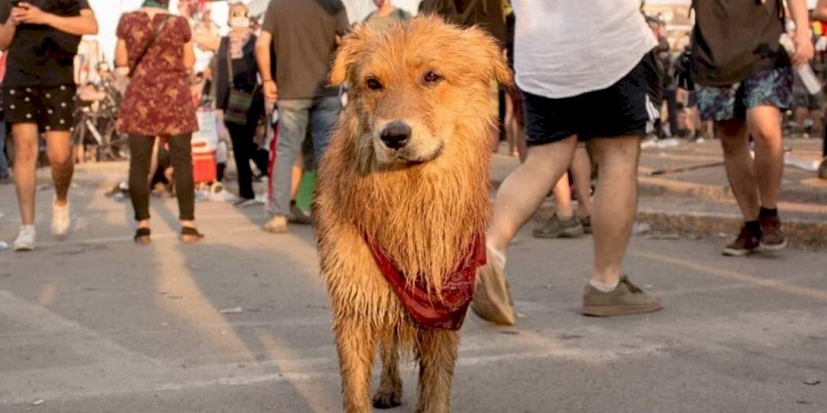 """""""Aguante el Rucio Capucha"""": el perrito que sigue los pasos del """"Negro Matapacos""""  y que encontró hogar después de terminar herido por el carro lanza aguas"""