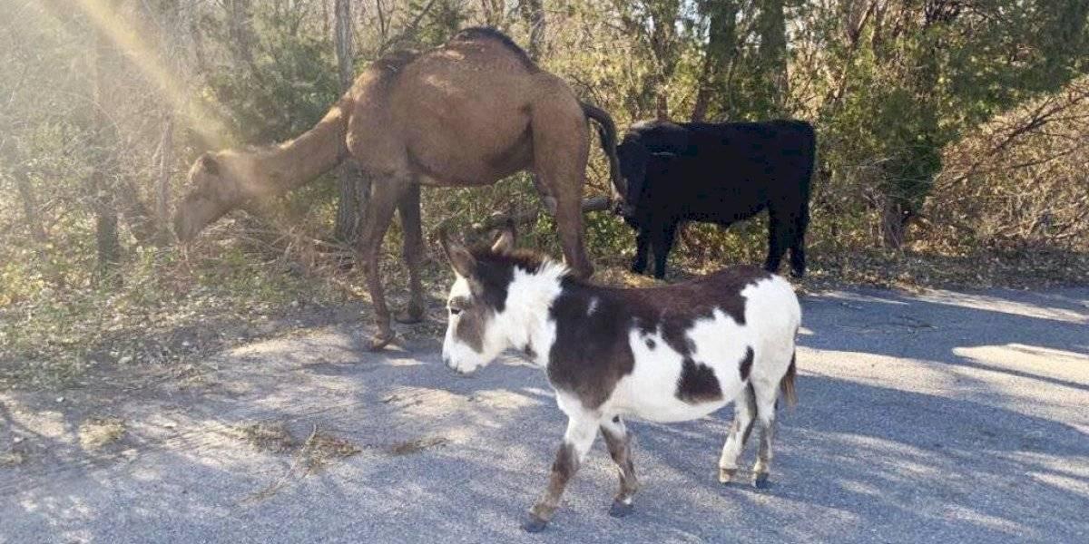 Insólita postal navideña: el singular hallazgo de un camello, una vaca y un burro en plena vía pública que sorprendió a todos en Estados Unidos