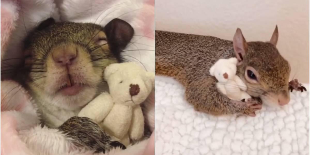 Sobrevivente de furacão, esquilo se habitua a dormir com urso de pelúcia