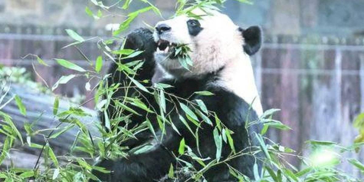 La triste partida de un Panda de EEUU a China