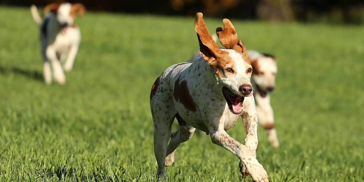 Los perros serían la solución para detectar a personas con coronavirus