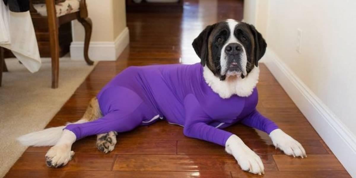 Inventan un traje especial para que las mascotas no boten el pelo