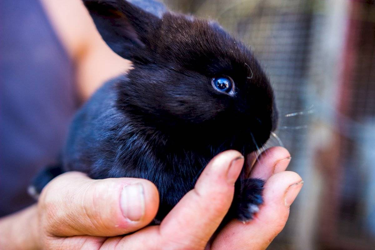 Grave: Conejo ha sido considerado por primera vez en peligro de extinción