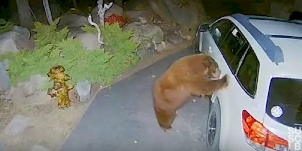 Câmeras captam momento impressionante em que um urso marrom gigante invade carro; animal estava pronto para dar uma volta
