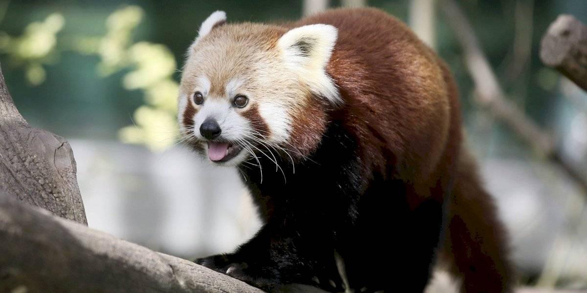 ¿Ha visto un lindo panda rojo?
