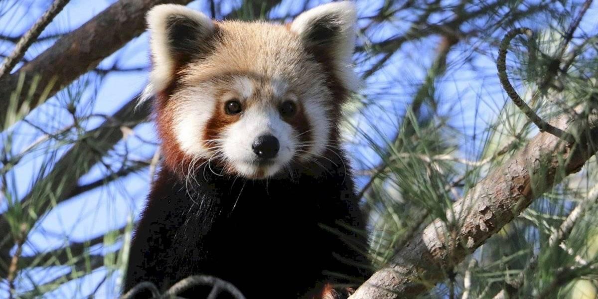 Escapa panda rojo de zoológico en Francia; piden no abrazarlo