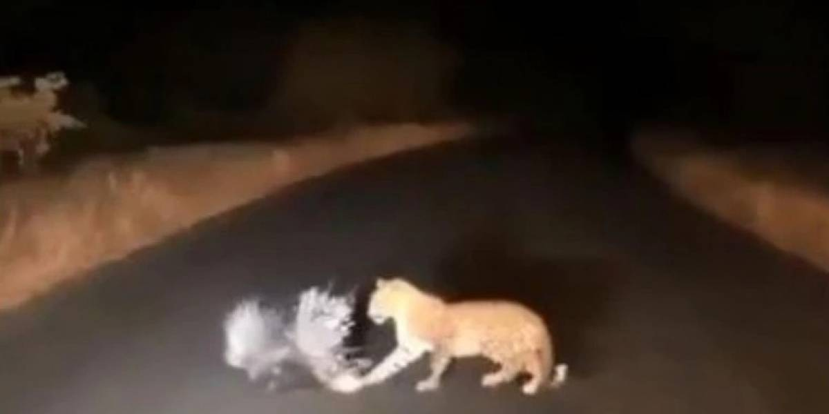 Vídeo de luta entre leopardo e porco-espinho se torna viral nas redes sociais
