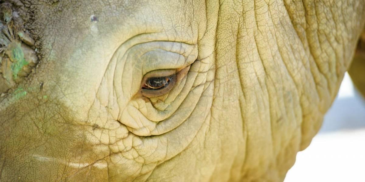 Muere de cáncer el último rinoceronte de Sumatra en Malasia