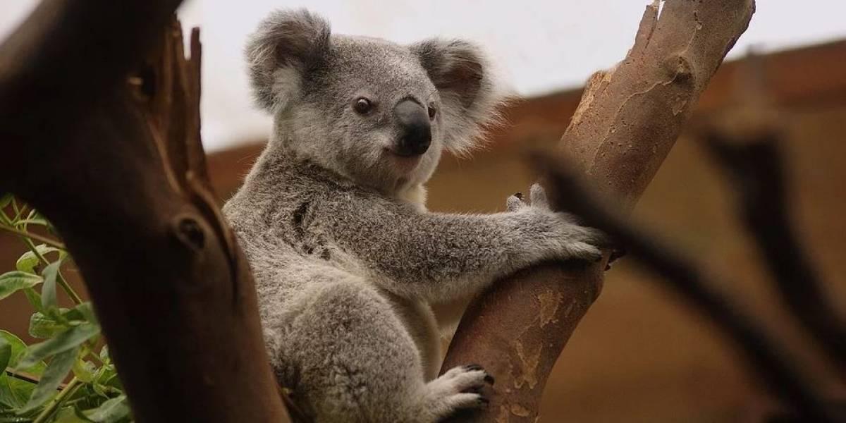 El koala está al borde de la extinción por los incendios en Australia