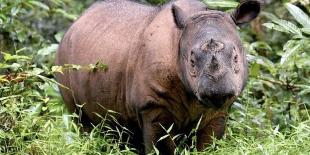 Murió el último rinoceronte de Sumatra y con él su especie en Malasia