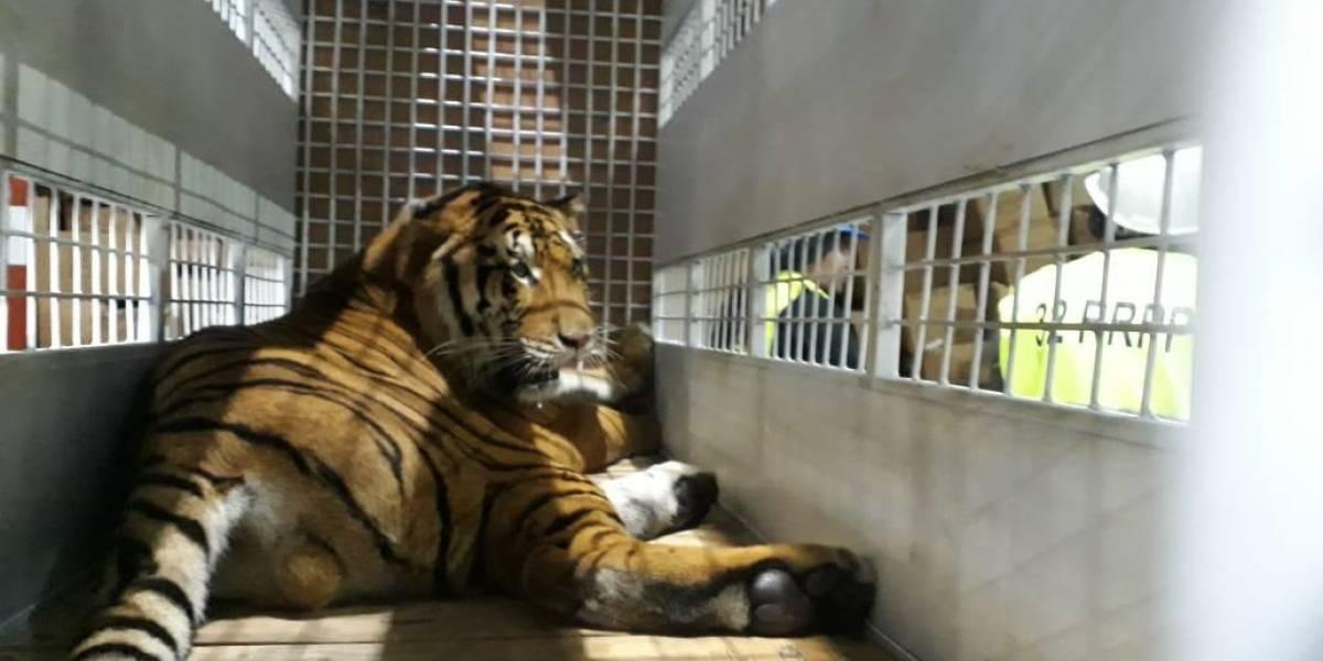 Tigres rescatados de circos son trasladados a un santuario en EE. UU.
