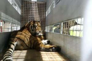 Tigres enviados a EE. UU.