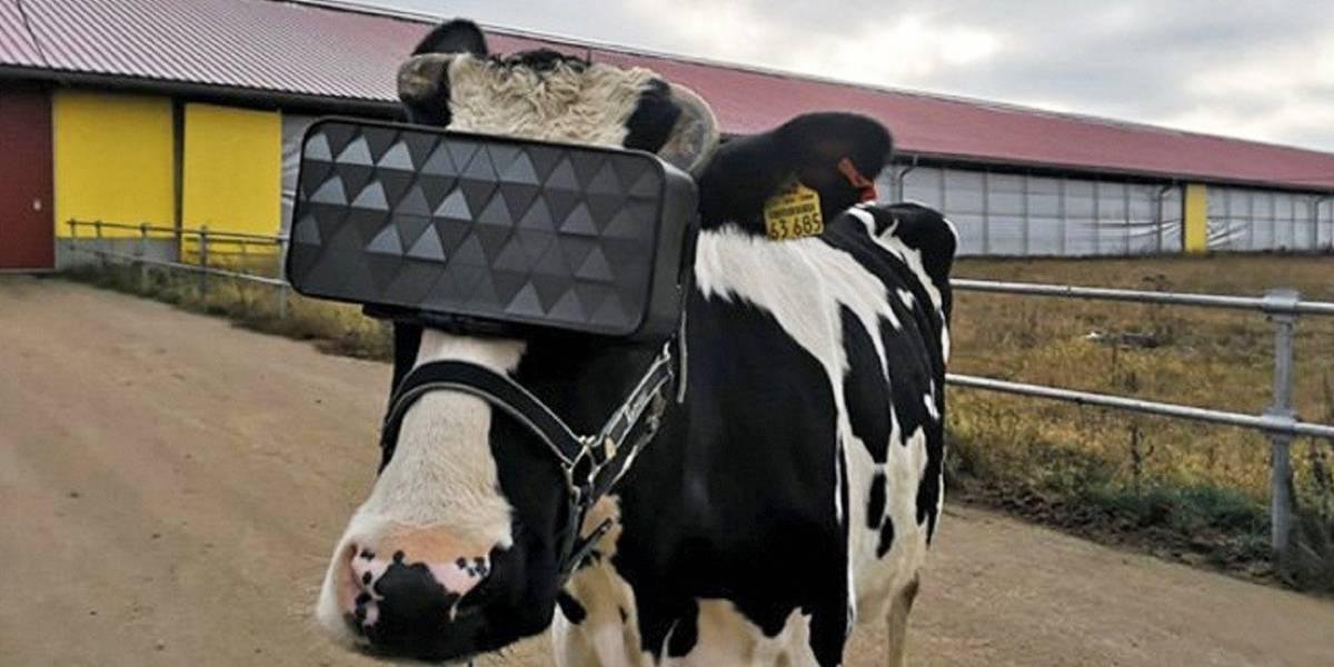 En Rusia ponen lentes de realidad virtual a las vacas para que se relajen