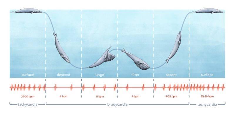 Entregan increíbles resultados del latido de corazón en una ballena azul
