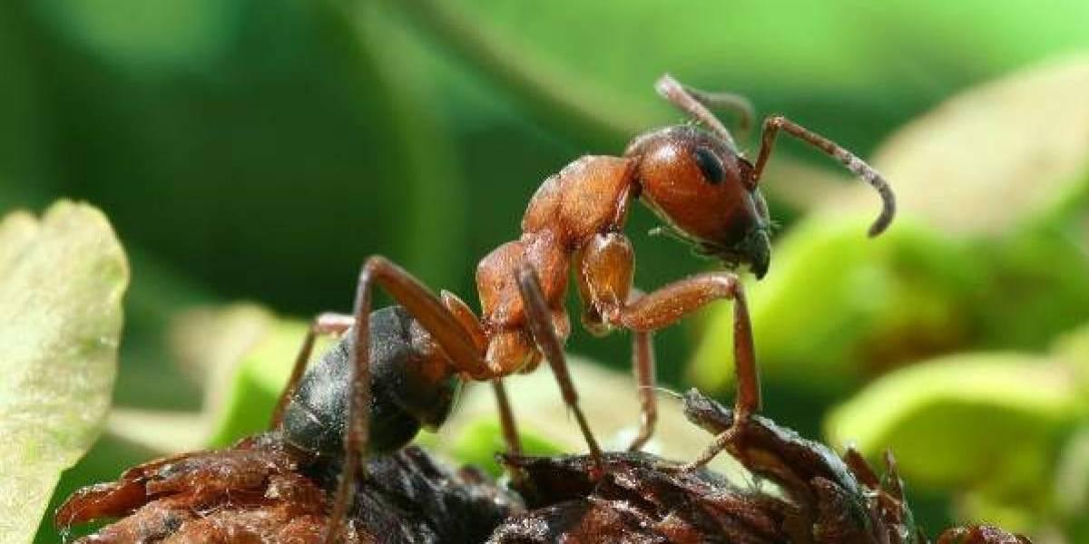 Una hormiga carnívora usa plumas para cazar a sus presas