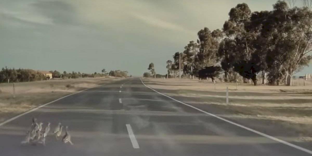 Piloto automático de Tesla Model 3 detecta familia de patos cruzando la calle, se desvía y los salva