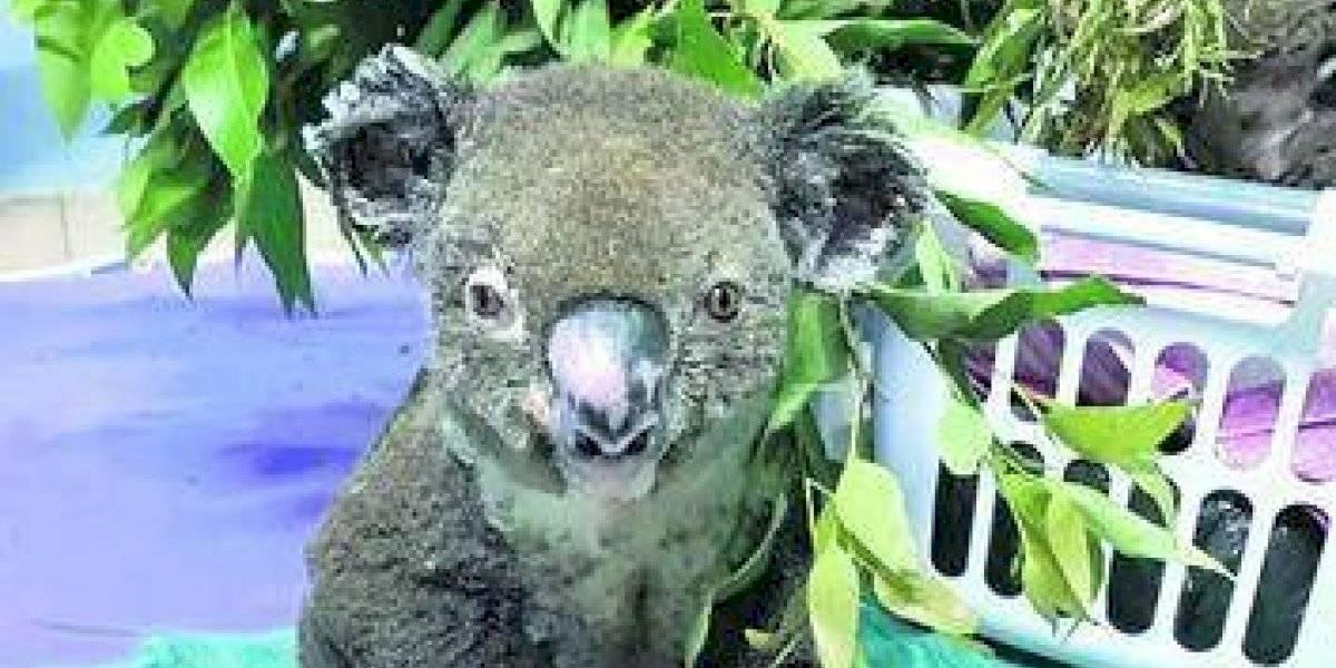 Falleció el koala rescatado de incendios en Australia