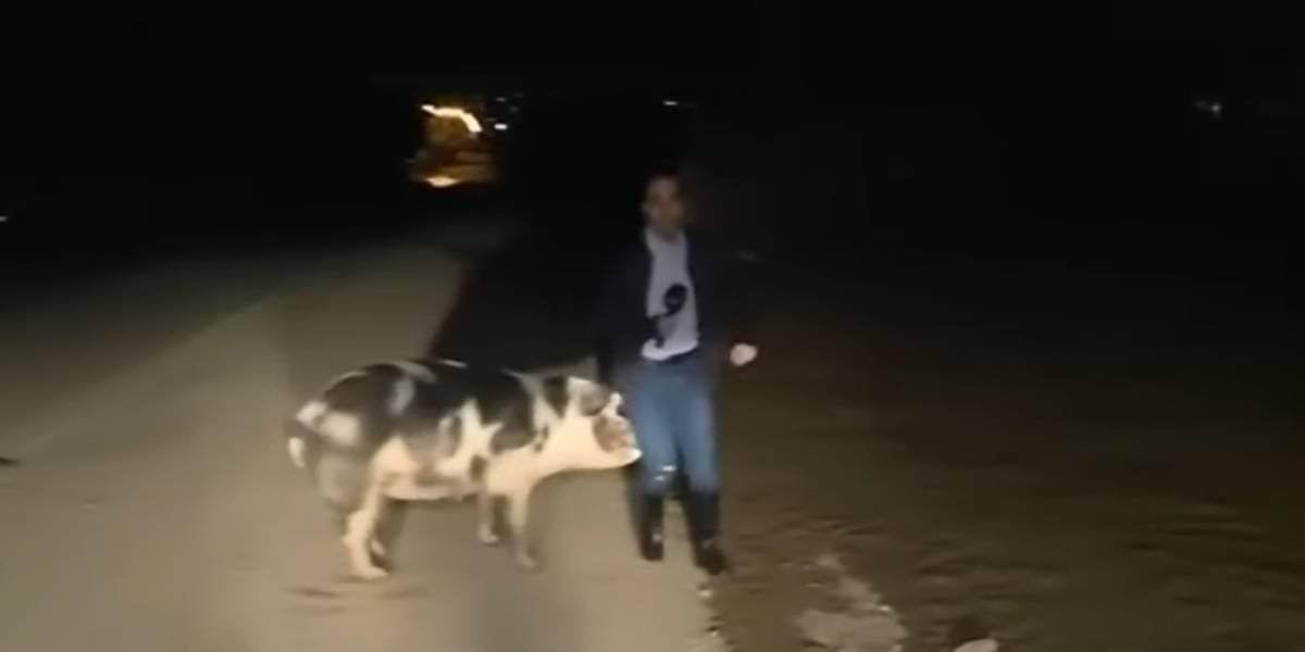 Porco persegue e tenta morder repórter ao vivo na Grécia