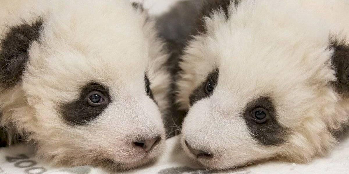 Zoológico de Berlín mostró a tiernos cachorros panda gemelos