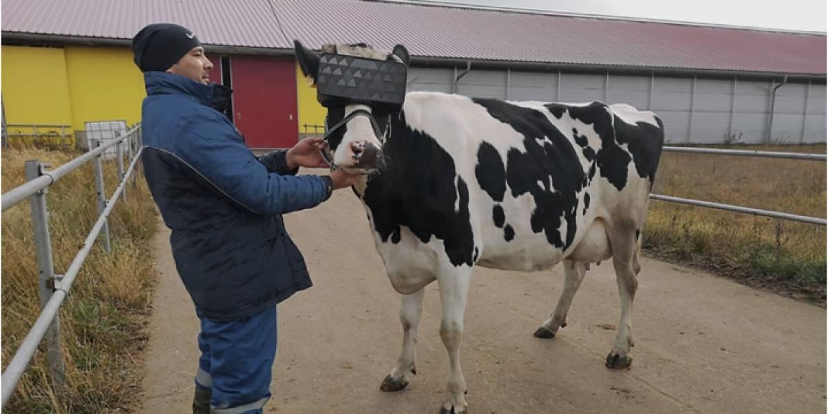 Vacas estão usando óculos de realidade virtual para produzir mais leite
