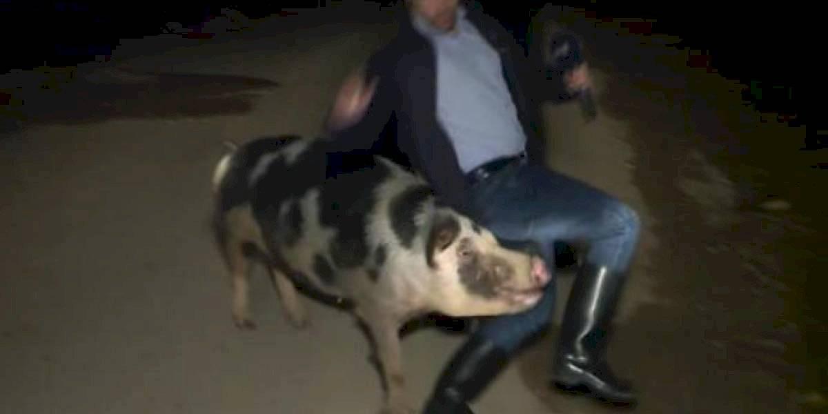 Repórter grego é atacado por um porco em transmissão ao vivo; confira o vídeo viral