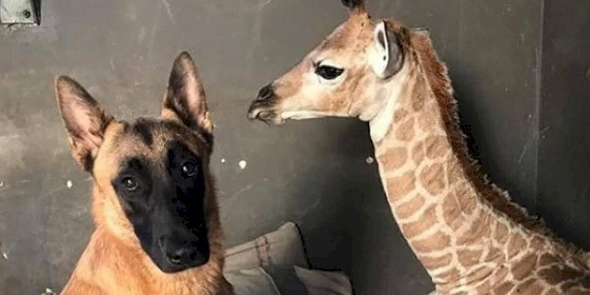 VÍDEO: Girafa abandonada pela mãe ganha uma babá inusitada em abrigo para animais