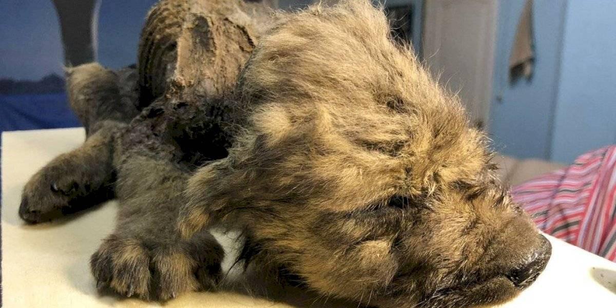 Encuentran en Rusia un cachorro congelado de hace unos 18 mil años