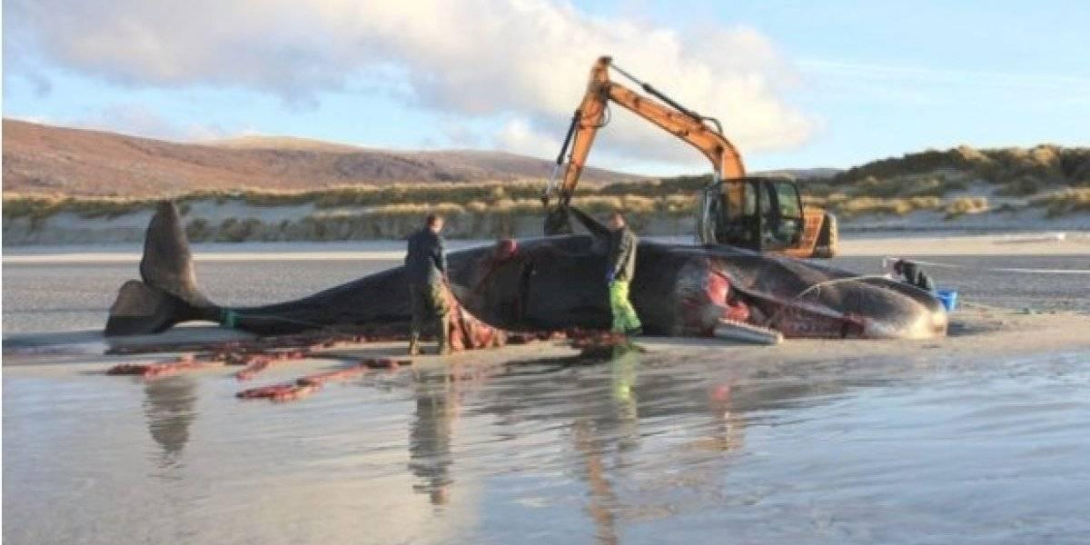Un caso más: muere ballena con 'pelota' de basura en el estómago
