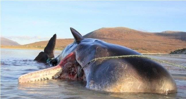Cachalote murió varado en una playa de Escocia