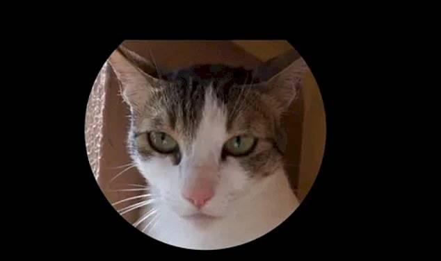 Este gato está presstes a votitar comida mau digerida. NEGATIVO Reprodução/ Daily Mail