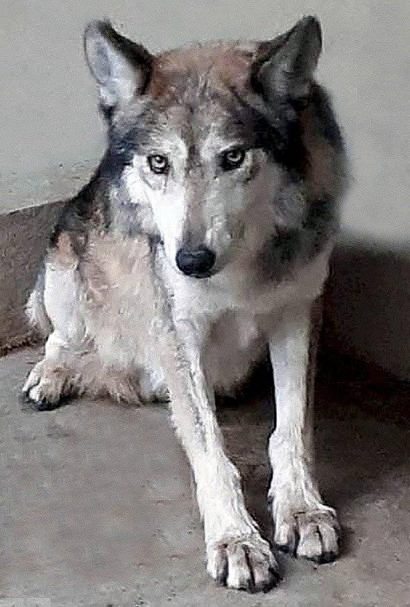 Lobo Mexicano hembra