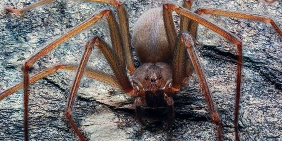 Descubren nueva especie de araña violinista originaria del Valle de México