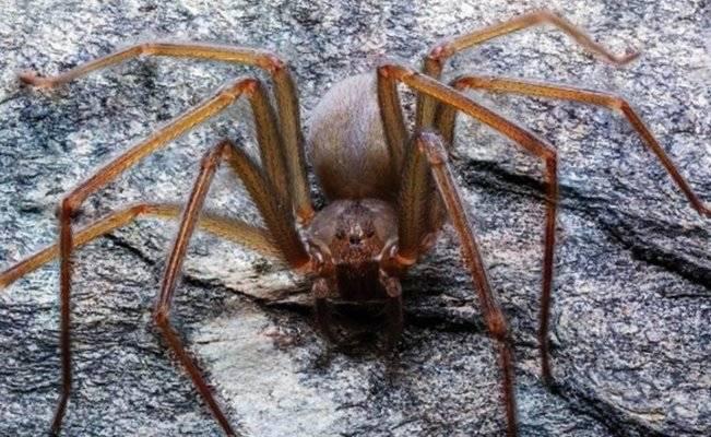 México Araña