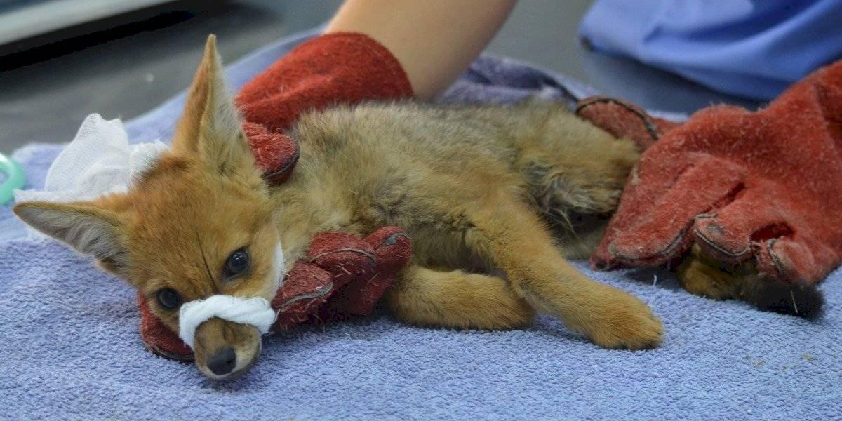 ¿Qué hacer con los animales en caso de emergencia?: Conaf lanza manuales para el manejo de Fauna Nativa en medio de desastres naturales