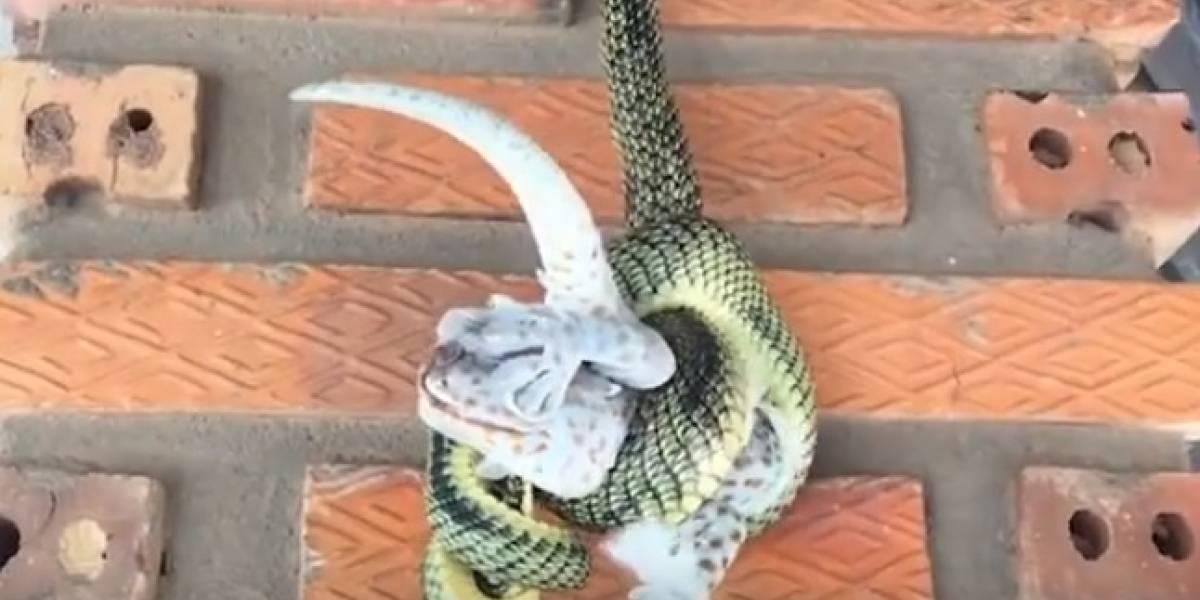 Vídeo de ataque fatal de cobra a lagarto se torna viral nas redes sociais