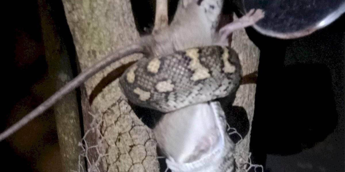 Este perfil de vida animal conseguiu captar em vídeo a emboscada preparada por um píton carpete para capturar um rato