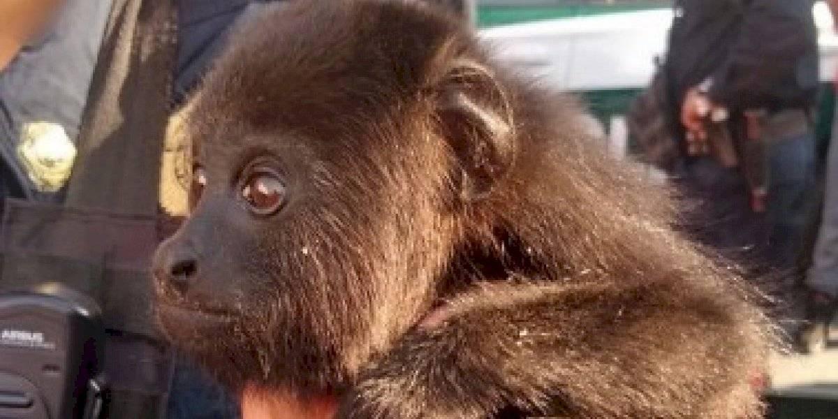 Rescatan a monito capuchino y a dos tucanes de un auto deportivo