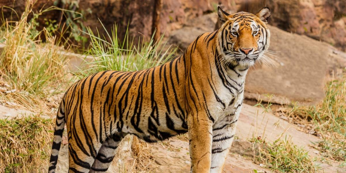 Tigre percorre mais de 1.300 quilômetros atrás de uma fêmea