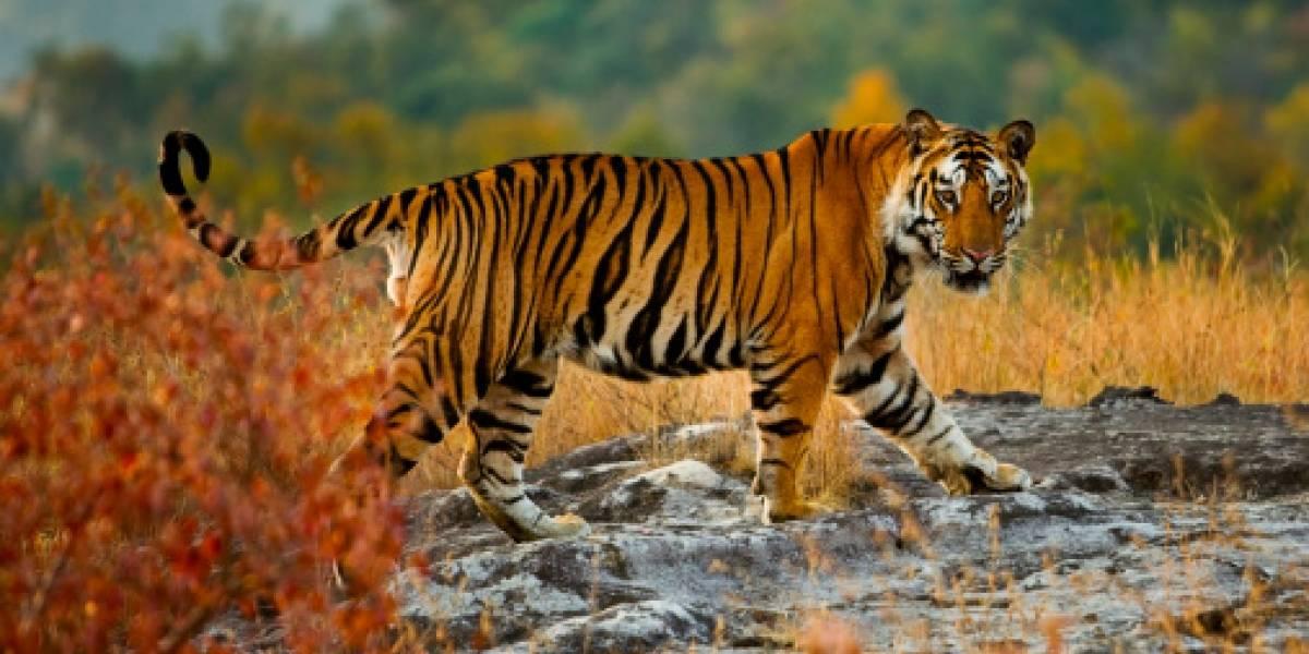Ya no quería estar solito: la odisea de un tigre que caminó más de 1.300 kilómetros buscando una pareja que dejó perplejos a los científicos