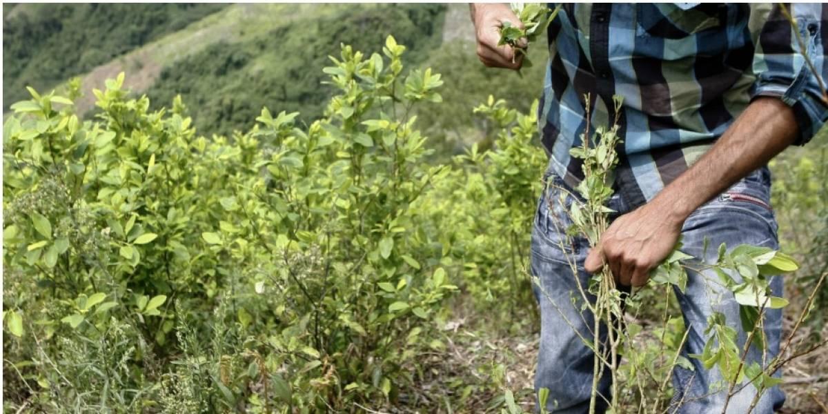 Más de 230.000 familias campesinas dependen del cultivo de coca en Colombia