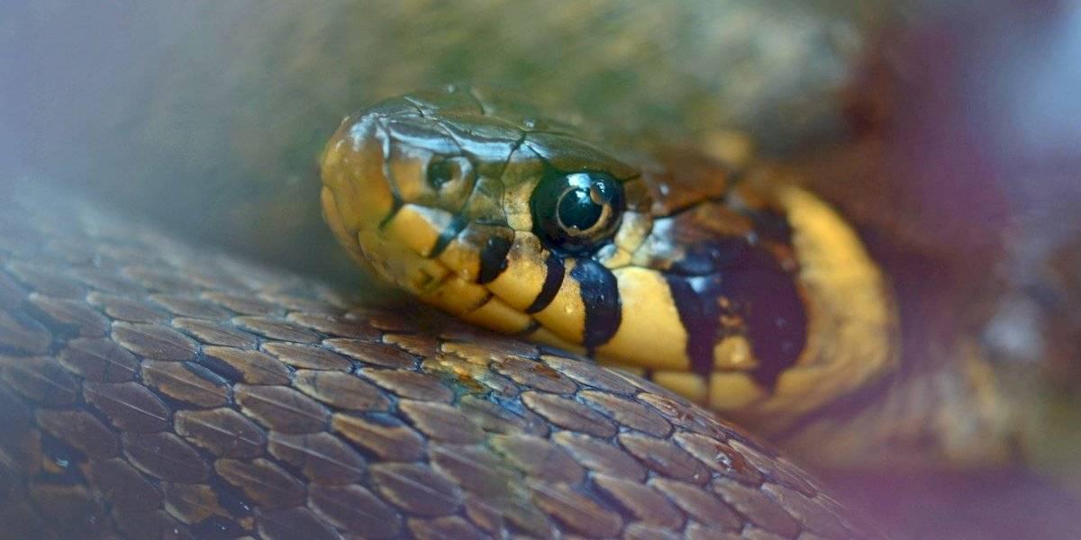 Cobra de duas cabeças com 'terceiro olho' é divulgada pela National Geographic