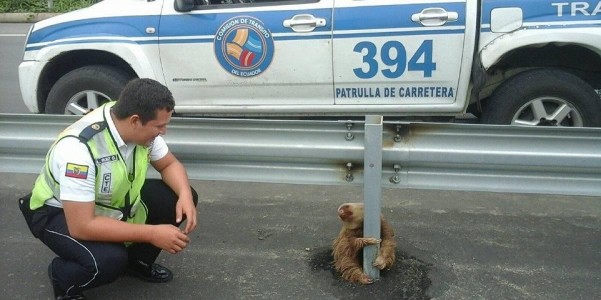 Policial salva bicho-preguiça preso em rodovia