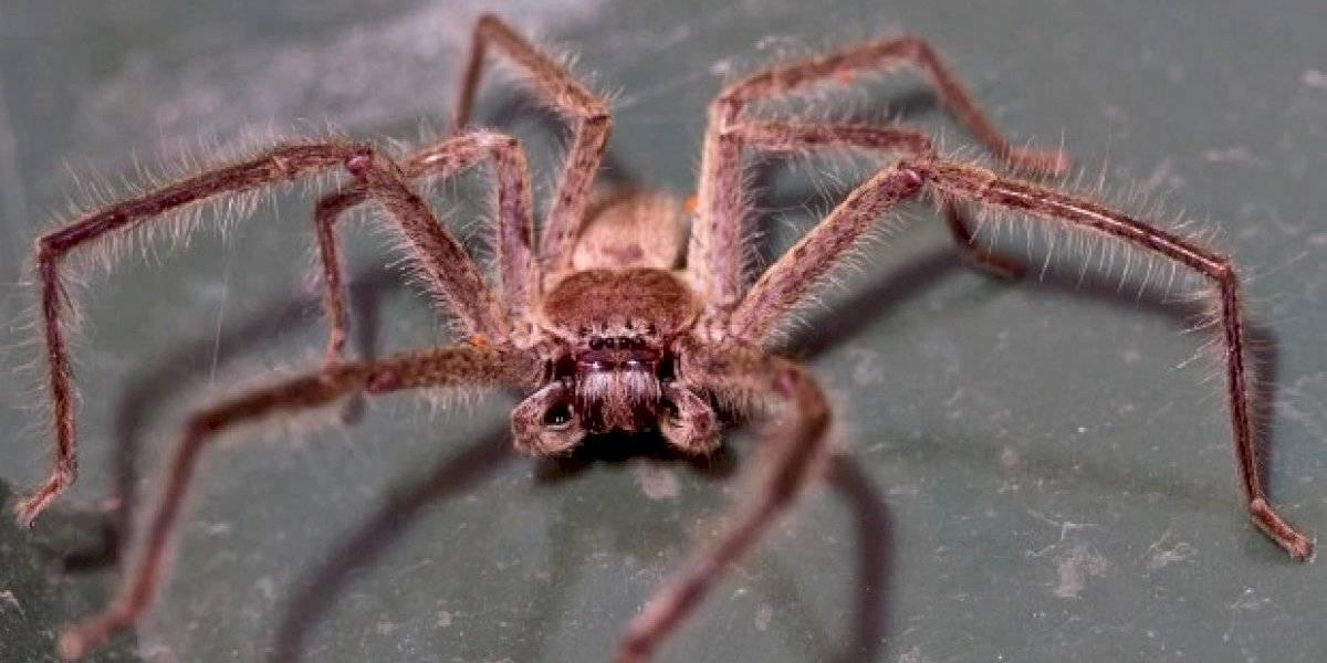 Trabalhadores de reserva natural encontram ninho de aranhas caçadoras e as fotos são impressionantes