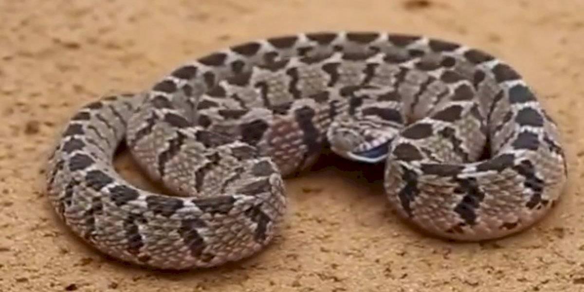 Vídeo hipnótico de ataque de cobra sem dentes se torna viral nas redes sociais