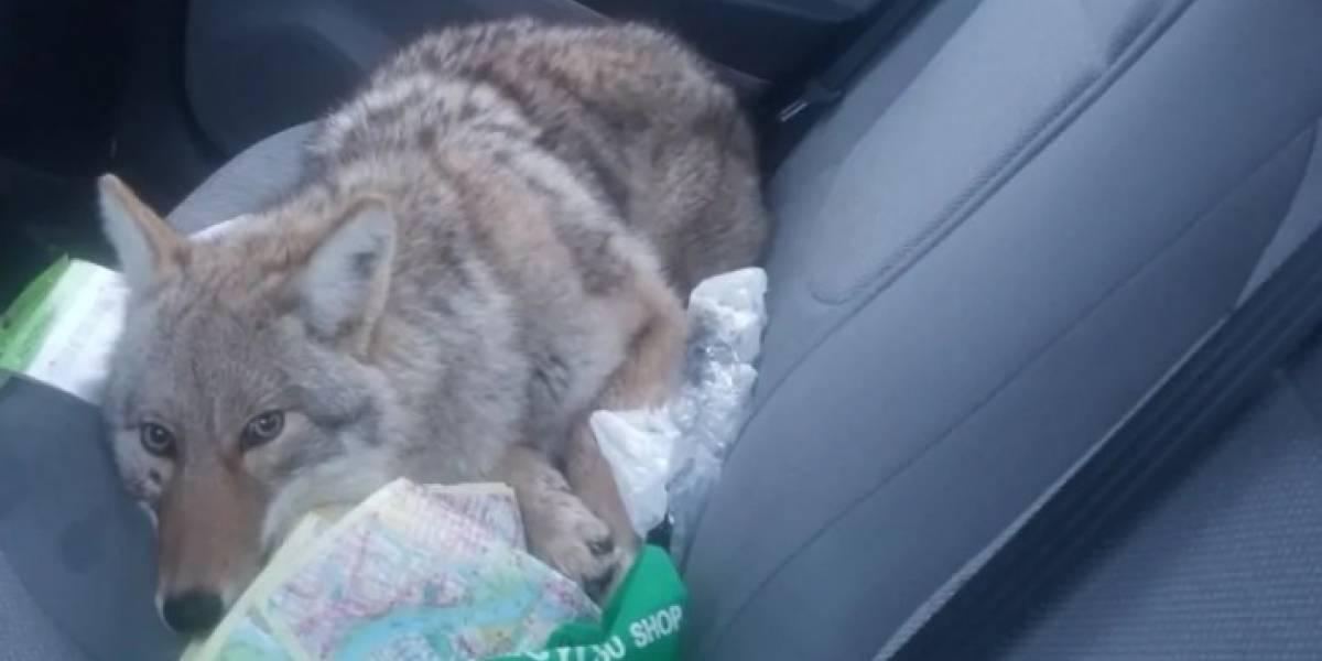Homem resgata coiote selvagem depois de confundi-lo com cachorro ferido